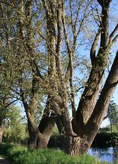 28-IMG_1425 (hemingwayfoto) Tags: dick natur pflanze fluss baum leine esche laubbaum