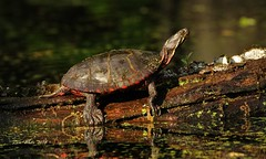 chillin... (don.white55 Thank you...) Tags: nature turtle reptile wildlife chillin mossy deadwood claws herp fallentree herpetology wildwoodpark aquaticturtle dauphincounty wildwoodlake donwhite harrisburgpennsylvania canoneos70d paintedturtleschrysemyspicta tamronsp150600mmf563divcusda011 donpwhitephotography thatswildnaturephotography
