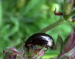 HBBBT!!!   Chrysolina americana (bego vega) Tags: madrid macro animal insect beetle salvia americana escarabajo vega vf bv bego insecto coleoptera chrysomelidae coleptero chrysolina bbbt hbbbt