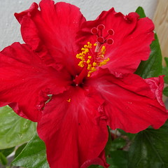 DSC02086 (omirou56) Tags: red plant flower macro outdoor 11 sonydscwx500
