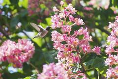High Energy Drink (aaronrhawkins) Tags: pink flowers blur tree colors fly utah spring wings backyard colorful hummingbird zoom drink blossom flight sunny chestnut nectar midair provo refuel sip aaronhawkins