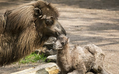 Photo of the Week: May 27 (Lincoln Park Zoo) Tags: bactriancamel baby calf lincolnparkzoo chicago antelopezebraarea new arrival