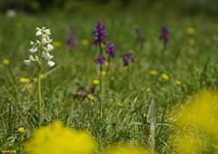Orchis Morio - Variation Blanche Pelouse le Tarte de Cessey (francky25) Tags: de orchids le blanche tarte variation franchecomt pelouse flore orchide sauvage orchis morio doubs anacamptis cessey