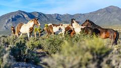 Wildhorse raucous (Francisca Vega Weber) Tags: spring nevada mojavedesert wildhorse pahrump nyecounty nikond5200 nikkor50mm118g
