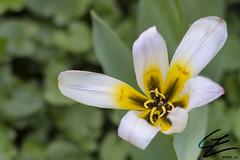 Tulipa Humilis (gxle) Tags: garden helsinki botanic humilis tulipa colchicum kaisaniemi puutarha kasvitieteellinen byzantinum