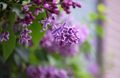 lots of Lilac (Dotsy McCurly) Tags: plant tree nature beautiful lensbaby wonderful nikon dof bokeh nj lavender twist lilac fragrant d750 60 lots smells optic
