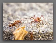 FEROZ. (manxelalvarez) Tags: insectos fauna ants hormiga formiga feroz hymenoptera