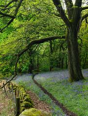 Bluebells at Hardcastle Crags wood near Hebden Bridge. (kyliepics) Tags: olympus e520 evolt520 darktable olympuszuikodigital1122mmf2835