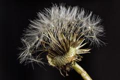 Pusteblume - Dandelion (w.lichtmagie) Tags: photoshop cc makro focusstack canonefs60mm strobist platinumheartaward strobistinfo
