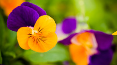 Fleurs (Alexandre LAVIGNE) Tags: macro nature fleurs rouge lumire couleur verdure ambiance penses feuillage tches louisengival smcpentaxdfamacro128100mmwr pentaxk3 defautschromatiques