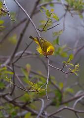 Yellow Warbler (Setophaga petechia) 0F3A5205 (Dale Scott.) Tags: albertacanada yellowwarbler loisholecentennialprovincialpark setophagapetechia johnepoolewetland