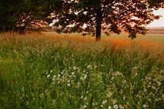 Early morning (frodul) Tags: wiesenblume blume sonnenaufgang feldrand margerite acker landwirtschaft outdoor baum landschaft hannover niedersachsen deutschland