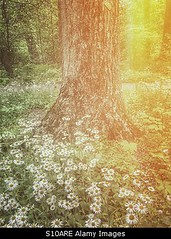 Uploaded to Stockimo (mlovette) Tags: flowers flower tree nature beautiful beauty daisies forest spring woods magic mysterious daisy trunk mystical concept magical stockimo