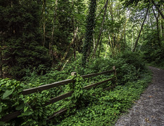 Path to the Nicomekl (Tony Tomlin) Tags: trees forest path ivy crescentbeach crescentpark