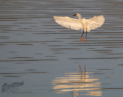 Early morning Snowy Egret 1 5_23 (krisinct- Thanks for 12 Million views!) Tags: canon 500 f4 80d