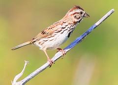 song sparrow at Chipera Prairie IA 854A7300 (lreis_naturalist) Tags: county song reis iowa larry sparrow prairie winneshiek chipera