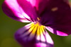 Violet pansy macro (mikhafff1984) Tags: flower design floral pattern summer nature spring viola field garden outdoor kissme bed blooming vibrant green petal loveinidleness aroma yellow botanical head bloom tricolor pansy violet kissmequick season multicolored lady