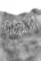 Verde chiaro (Pavel 'PAshaRome' Vavilin) Tags: blackandwhite bw nature monochrome alberi bokeh telephoto tele konica 135mm classiclens whiteandblack hexanon manuallens japanlens primelense konicahexanonar armount konica13535 konicahexanonar13535