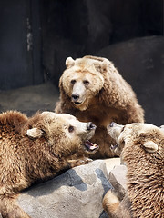 Stop Fighting! (Johnnie Shene Photography(Thanks, 1Million+ Views)) Tags: bear wild 3 macro nature animal animals vertical canon lens wonder mammal photography interesting natural zoom outdoor wildlife bears watching sigma tranquility nopeople korea apo korean fighting awe 70300mm halflength adjustment freshness dg  ursus brownbear quarrel behaviour ursidae threeanimals fragility f456 colourimage ezobrownbear  foregroundfocus eos600d rebelt3i kissx5 ezobear