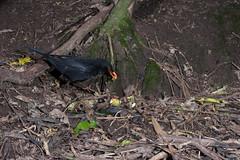 Blackbird (Turdus merula) and Kohekohe (Dysoxylum spectabile) (Nga Manu Images NZ) Tags: trees flora turdusmerula blackbird kohekohe dysoxylumspectabile sscientificnames