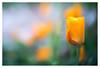 California dreaming (leo.roos) Tags: orange californianpoppy californiapoppy oranje goldenpoppy eschscholziacalifornica slaapmutsje cupofgold darosa a7s californiasunlight composerpro leoroos lensbabytwistoptic6025