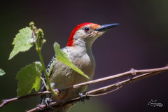 Red-bellied Woodpecker (*~ Nature's Gifts Captured  ~*) Tags: nature closeup photoshop wildlife creative redbelliedwoodpecker grapevine specanimal wildnewjersey naturesgiftscaptured nikond4s tamihrycak spring2016