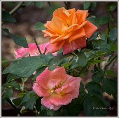 Apricot and pink roses (idunbarreid) Tags: roses doublefantasy