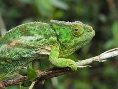 Andisabe-Mantadia National Park (Laika ac) Tags: africa rainforest reptile chameleon madagascar andisabemantadianationalpark