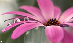 My story ... (Trayc99) Tags: pink flower macro beautiful droplets drops waterdrops floralart beautyinnature capedaisy flowerphotography beautyinmacro