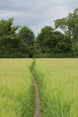 The narrow path (wit) Tags: barley