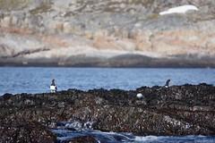 DSC01591_Fotor (Jagupov Igor) Tags: sea russia north oystercatcher kola peninsula barents haematopus ostralegus 12062016