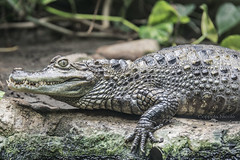 coccodrillo (nnicolo) Tags: golf zoo natura coccodrillo attak rettile anfibio