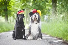 haarige Deutschlandfans (laboheme82) Tags: dog dogs animal animals labrador hund em beardie beardedcollie hunde fusball deutschlandfans labbi