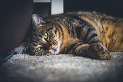 Micky (ChrisTalentfrei) Tags: cats zeiss cat kitten sony tiger kitty sleepy kater a7 tomcat chilled mieze housetiger 2470f4oss