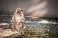 2016-07-21-17h53m22.BL7R1581 (A.J. Haverkamp) Tags: canonef100400mmf4556lisiiusmlens amsterdam zoo dierentuin httpwwwartisnl artis thenetherlands japansemakaak japanesemacaque
