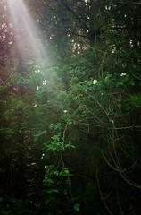 Wild rose (cottagearts123) Tags: wild tree rose norfolk wildrose sunbeam sunray brecks breckland thebrecks