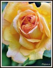 _JVA6856 (mrjean.eu) Tags: park pink flowers blue roses white france flower macro green nature fleur rose yellow fleurs garden nikon jardin botanic lorraine botanique parc metz 105mmf28