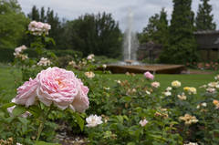 Rose Garden (s.d.sea) Tags: pink flowers roses summer chicago flower floral rose 35mm garden illinois spring midwest pentax northshore glencoe botanic enjoyillinois k5iis