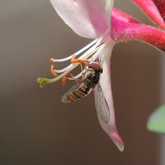 Marmalade hoverfly (Episyrphus balteatus) on honeysuckle, Sandy, Bedfordshire (orangeaurochs) Tags: sandy bedfordshire hoverflies episyrphusbalteatus honeysuckly