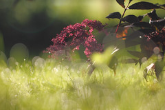 Bubbl'n bokeh (Pog's pix) Tags: plant garden morning bokeh pretty dew drewdrops light sunlight stewarton ayrshire grass flare eastayrshire scotland colourful outdoors outdoor outside shining sparkling sparkles bubbles wet flowering flowers leaves lawn green red burgundy halo haloes backlit bright