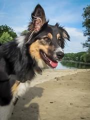 Lisca (K r y s) Tags: dog nature outdoor posing bordercollie extérieur patrol attentive alert marne 2016 lisca bordsdemarne basenautique