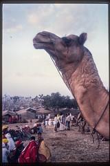 at the Pushkar fair (kuuan) Tags: scan slide pushkar pushkarfair camel india rajasthan 1982 film colorfilm