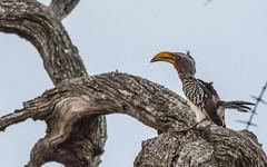Southern Yellow-billed Hornbill_0793-20151015 (C&P_Pics) Tags: hornbills kruger pgc skukuzacamp southafrica2015 southernyellowbilledhornbill krugerpark mpumalanga southafrica za