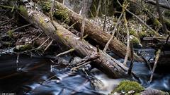 Forest (ErikN86) Tags: tree water forest river sweden sony fallen uppsala sverige uppland urskog sonydslr fiby sonya300