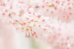 Cherry blossom in spring (Jess Yu) Tags: new pink white flower detail macro tree nature floral japan horizontal closeup garden season cherry japanese march spring flora soft branch close natural blossom gardening background softness wide young orchard petal blank zen bloom april sakura fade blossoming bud copyspace title oriental delicate isolated tender tenderness freshness gentle blooming someiyoshino