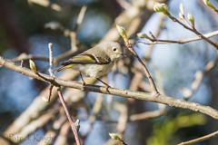 _MG_0813.jpg (pknight45) Tags: birds places rubycrownedkinglet bakerwetlands