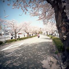 hanami business (komehachi888) Tags: cherryblossom filmshots kodakektacolorpro160 expiredon2010 lomolca120 minigonxl38mmf45