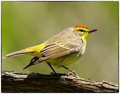 Palm Warbler (RKop) Tags: minolta600mmf4apog a77mk2 armlederpark ohio raphaelkopanphotography 2015 sony warblers warbler