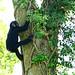 Chimpanzee : チンパンジー