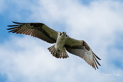 Male Osprey performs a flyby
